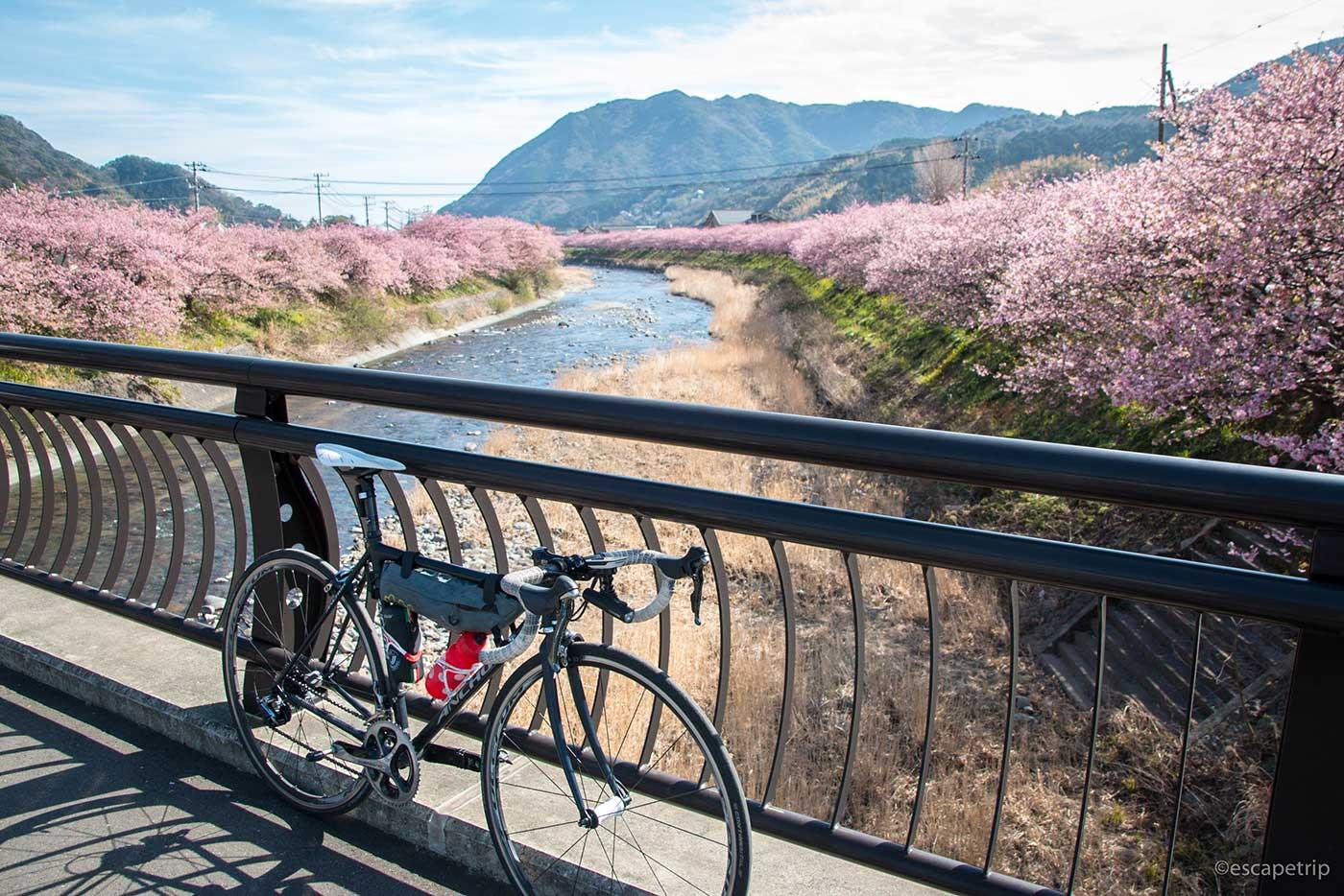 伊豆の河津桜その1
