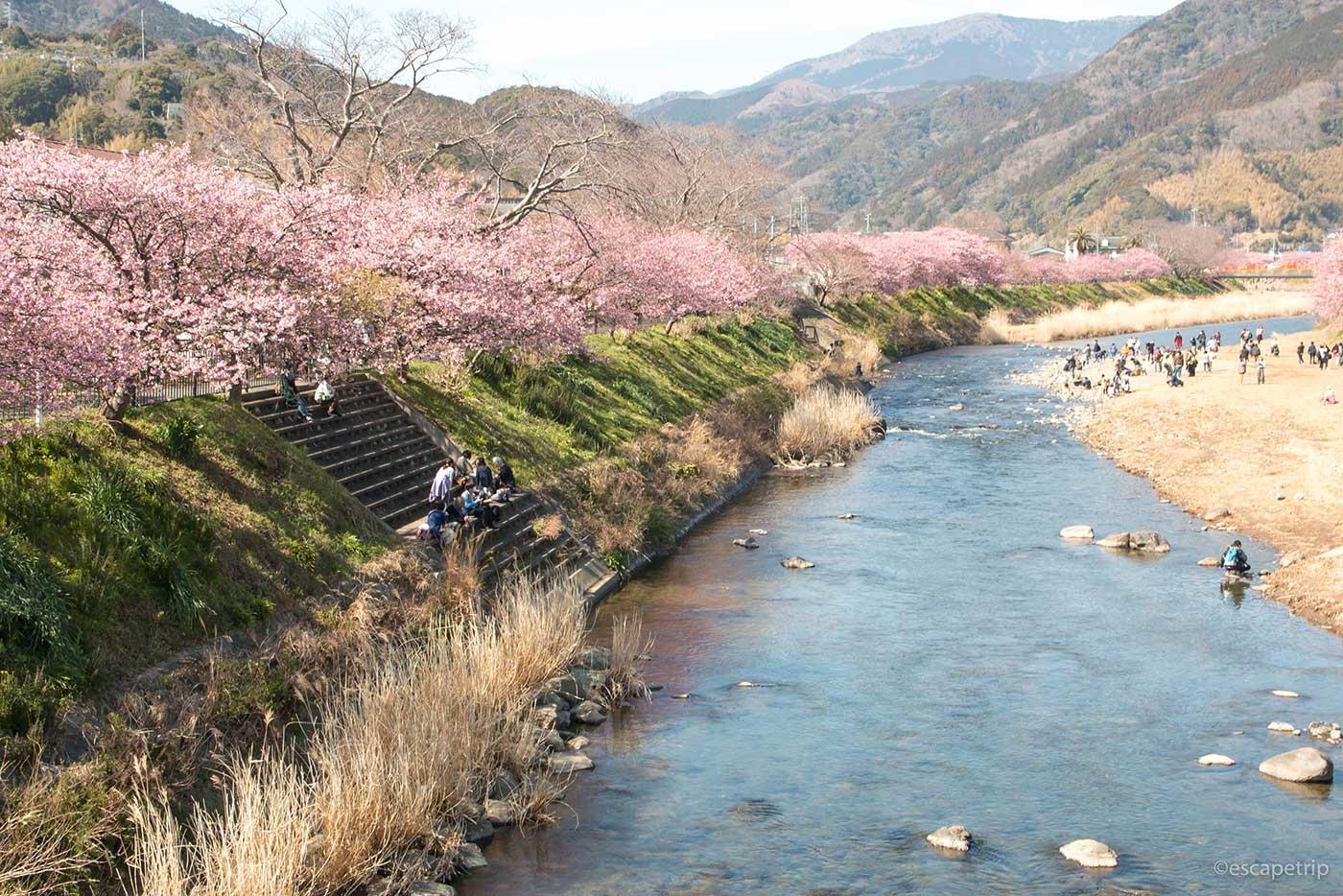 伊豆の河津桜その2