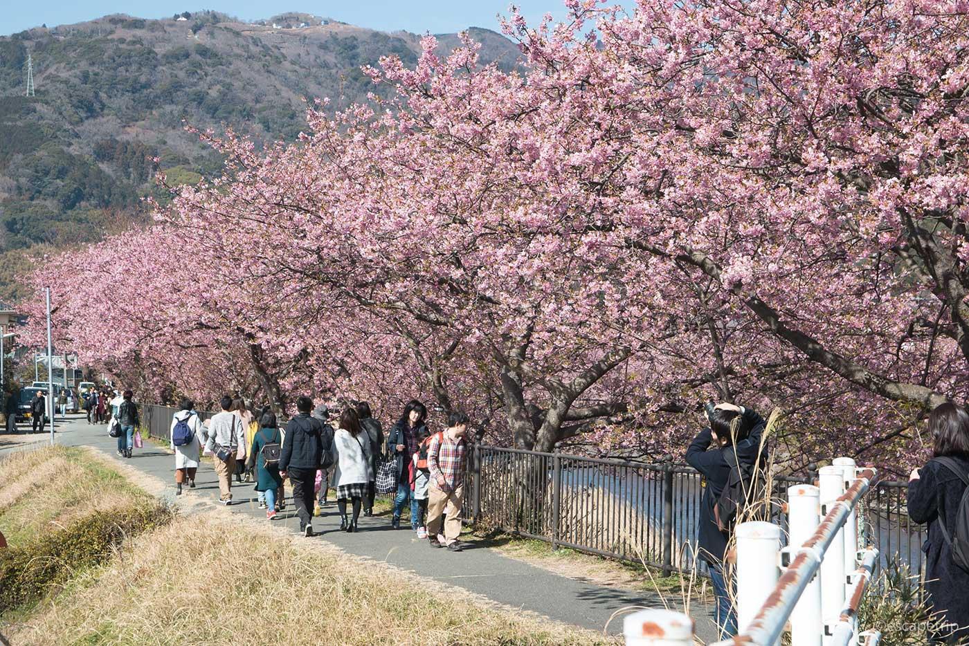 伊豆の河津桜その3