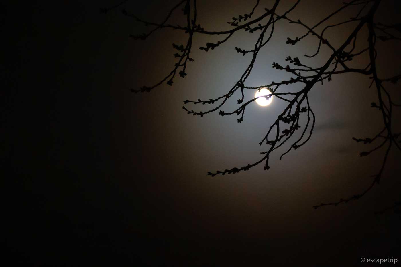 桜の木と満月