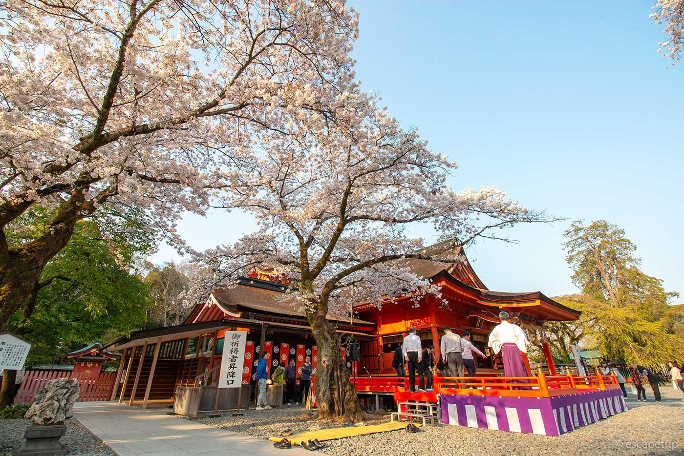 富士山本宮浅間大社の本殿と桜