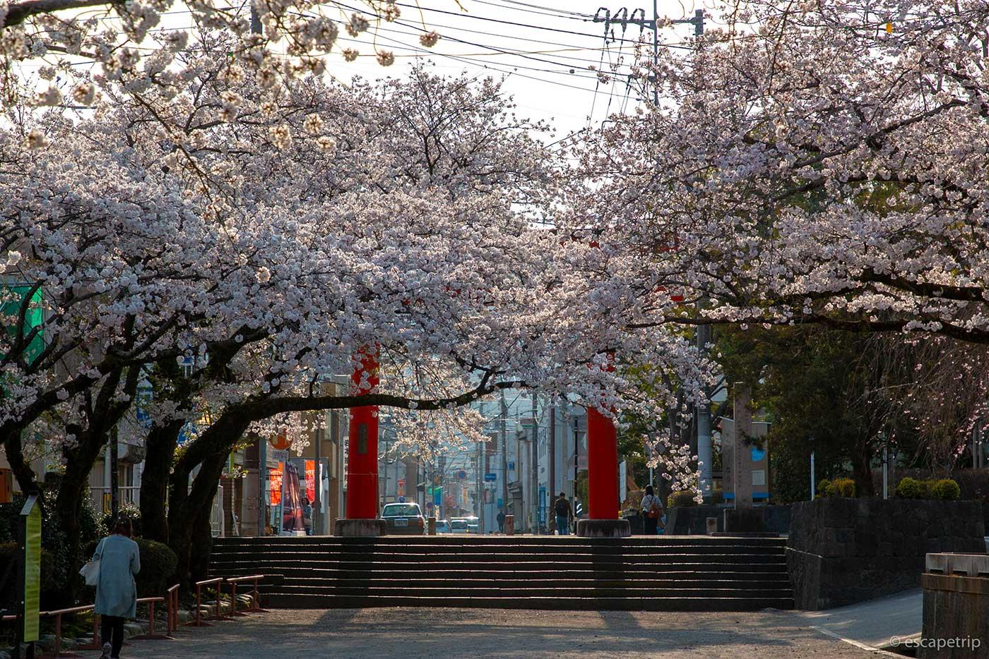 富士山本宮浅間大社と桜