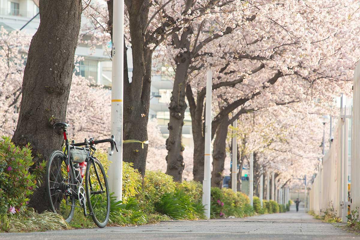 みなとみらいの桜とロードバイク