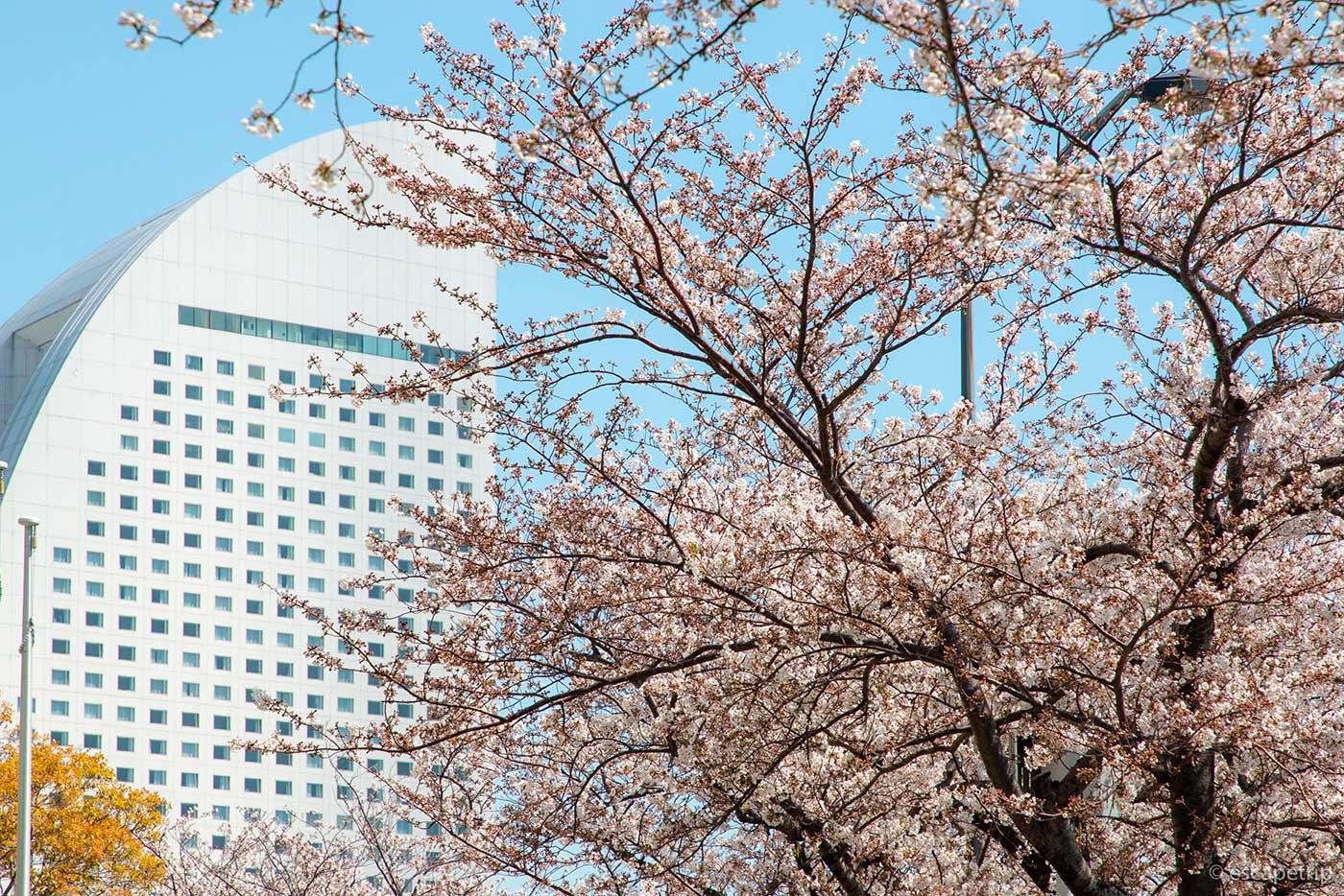 ヨコハマ グランド インターコンチネンタル ホテルと桜