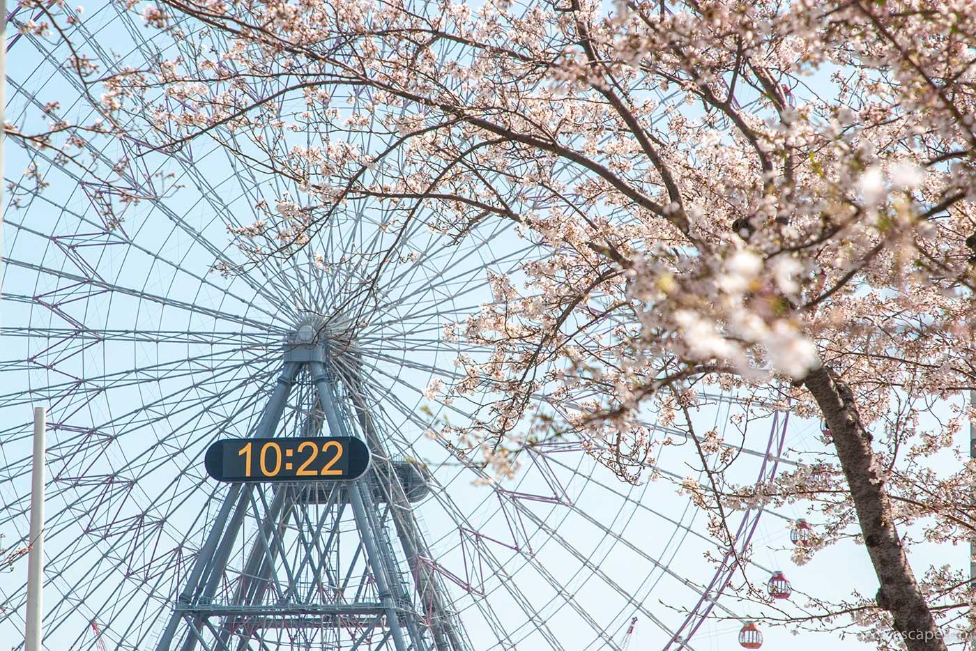 みなとみらいの観覧車と桜