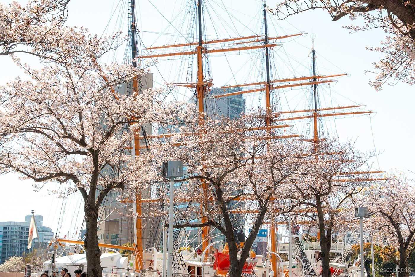 帆船日本丸と桜