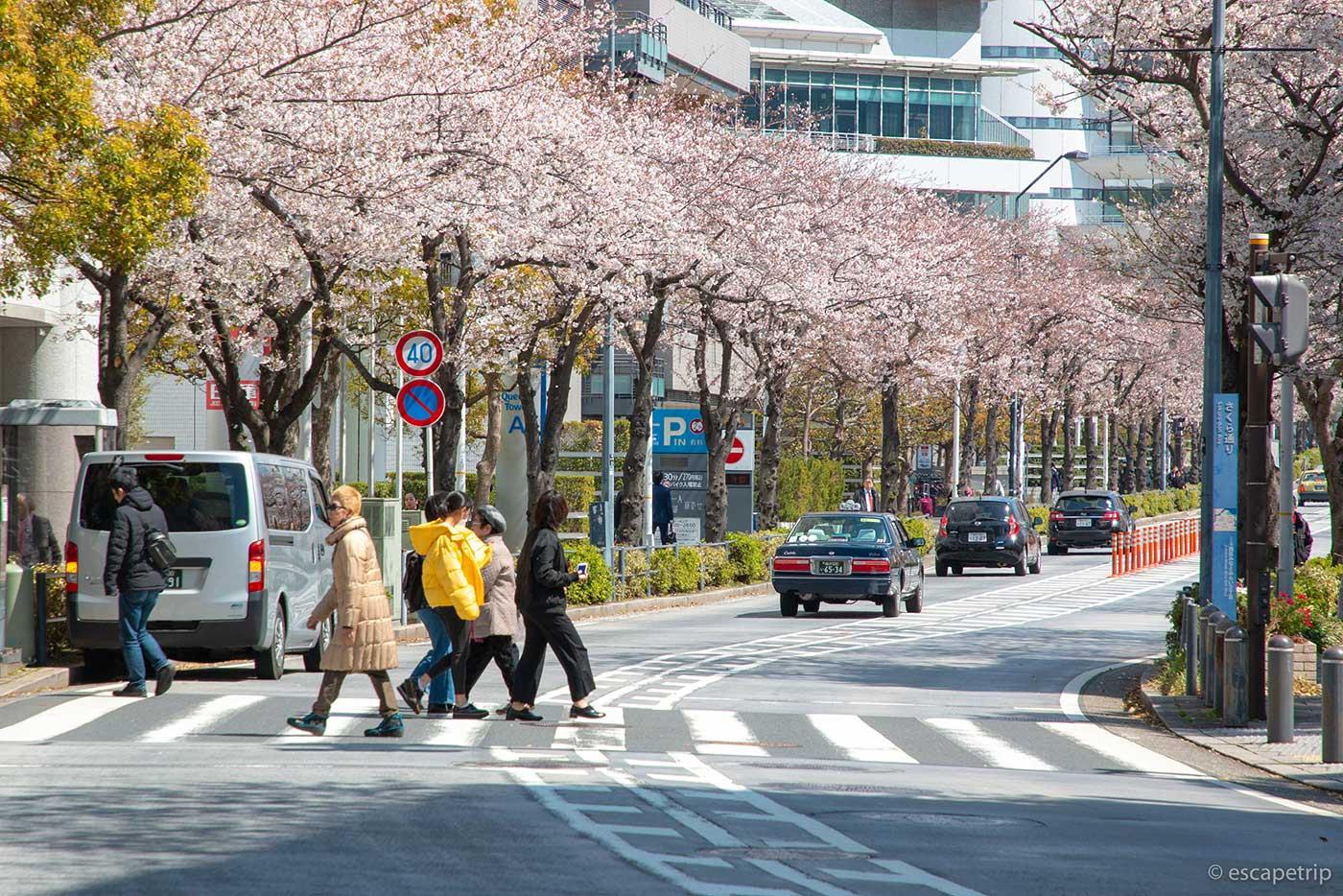 横浜みなとみらいのさくら通りと桜