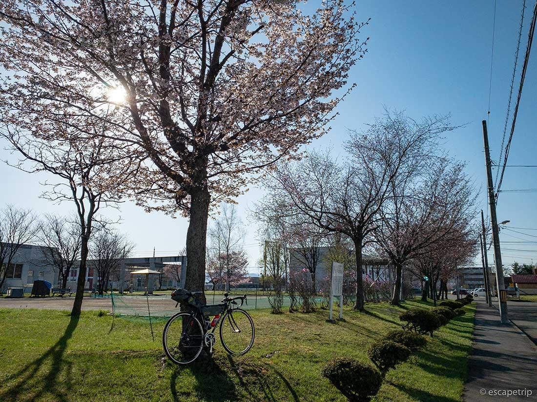 旭川の桜とロードバイク