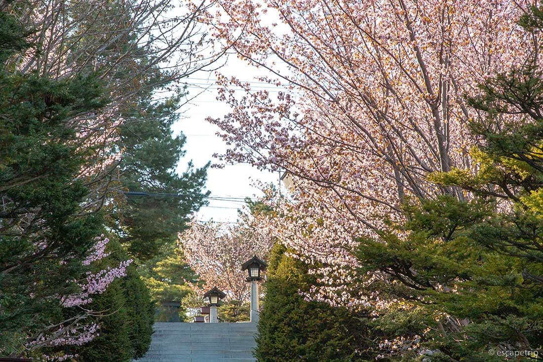 北見神社の桜