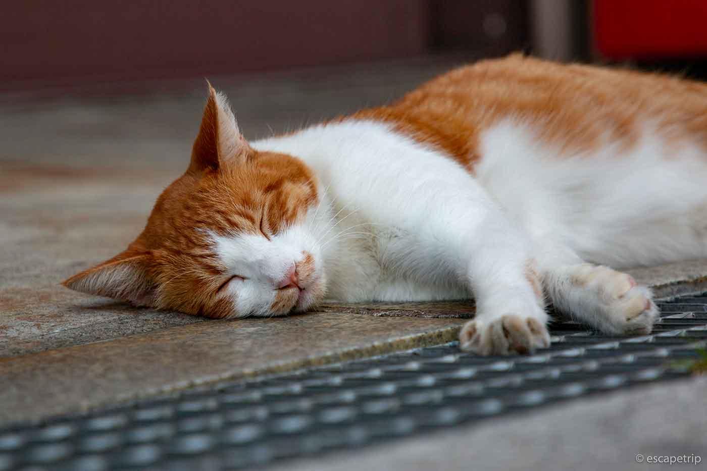 伊香保温泉の猫