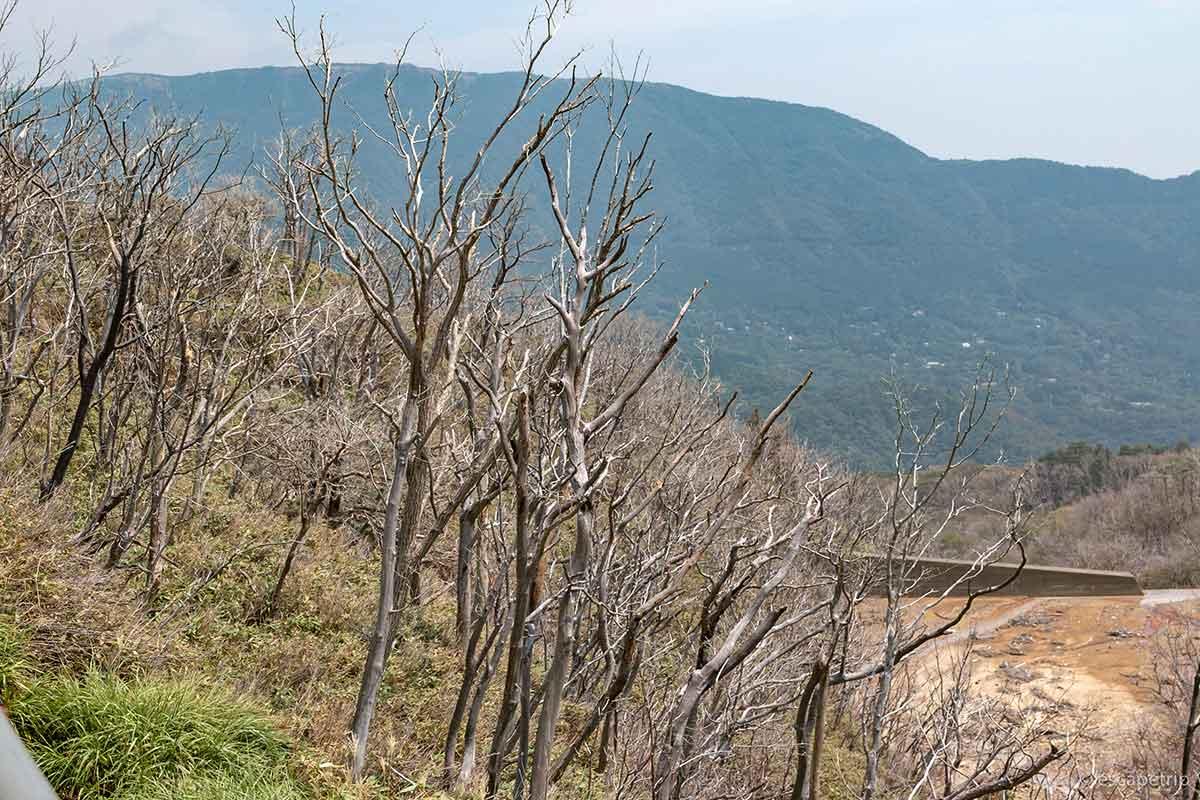 大涌谷の枯れ木