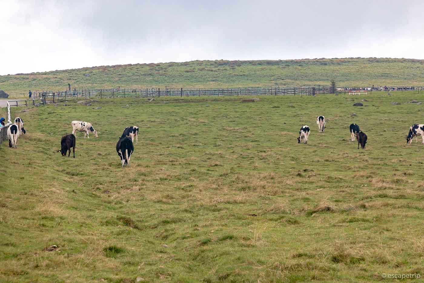 美ヶ原の牛