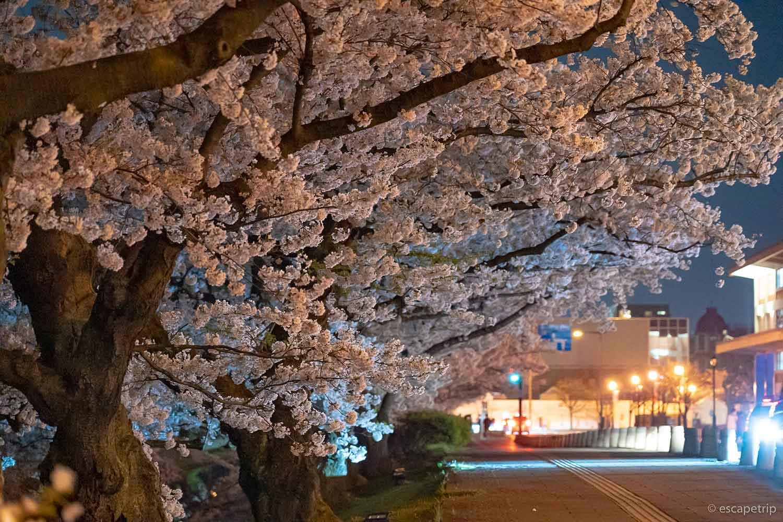 夜の弘前公園の桜