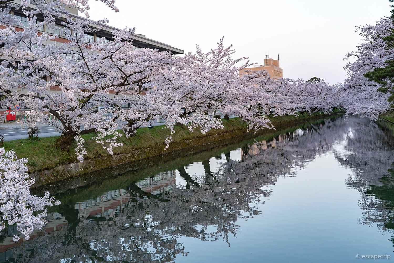 弘前公園の外濠の桜