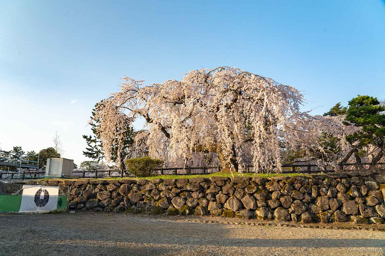 弘前公園のヤエベニシダレ