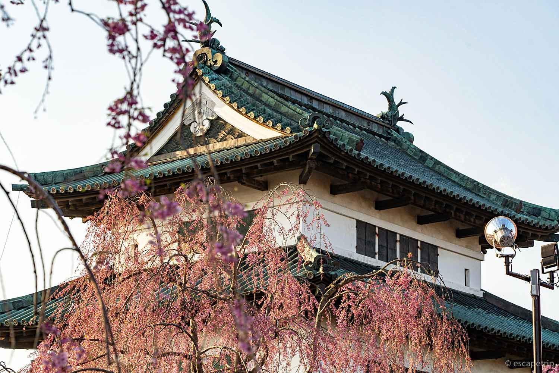 ヤエベニシダレと弘前城