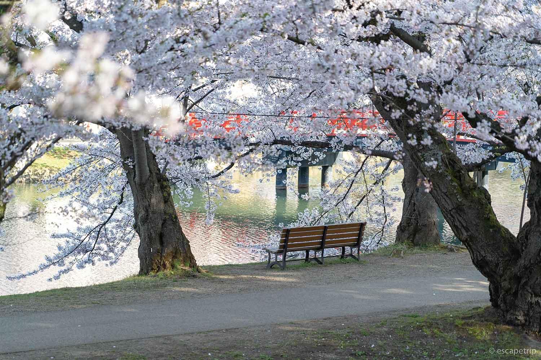 弘前公園の桜とベンチ