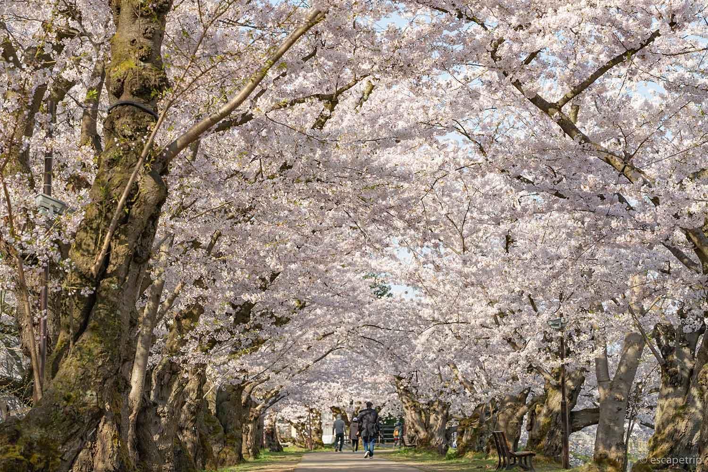 弘前公園の桜のトンネル