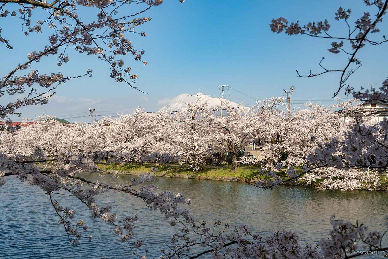 弘前公園の西濠の桜