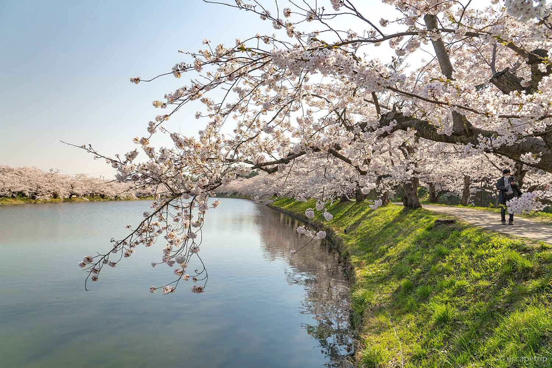 弘前公園の西濠と桜のトンネル