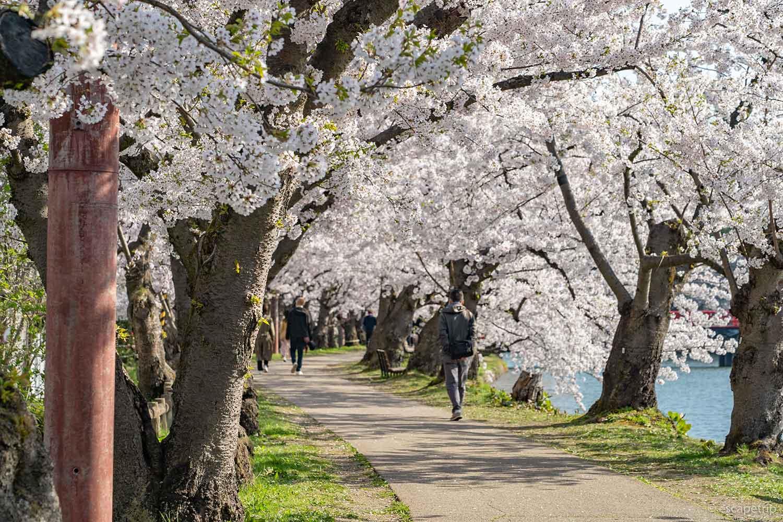 弘前公園の桜並木