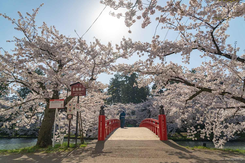 晴天の春陽橋と桜