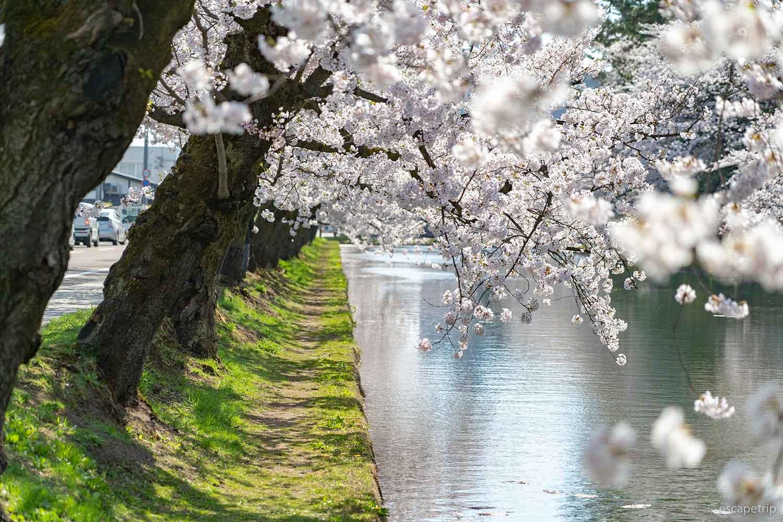 桜と外濠の水面